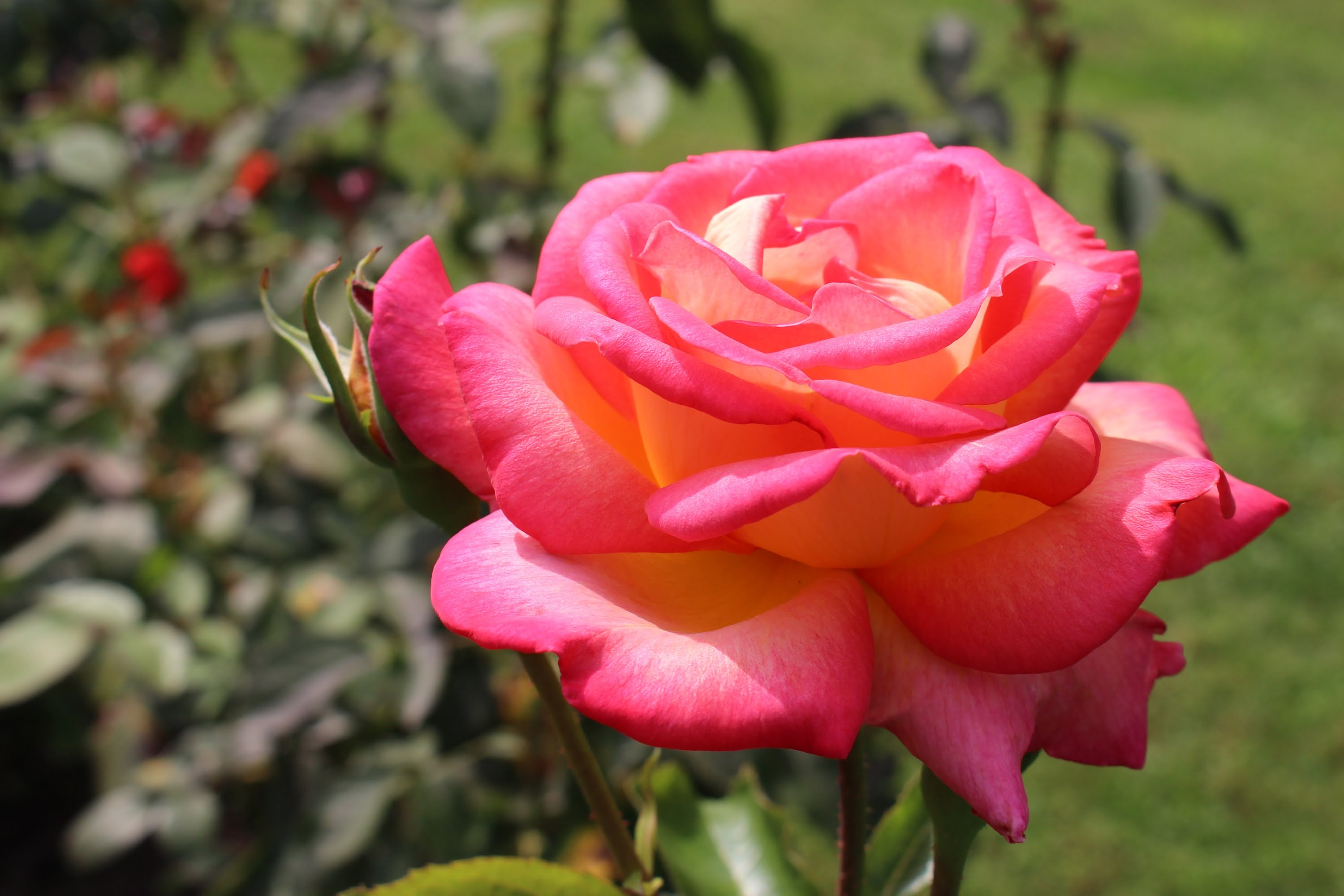 Roses In Garden: How To Grow The Best Roses In Your Garden